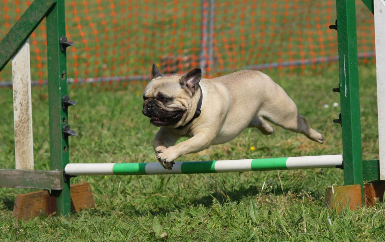 dog, pug, training