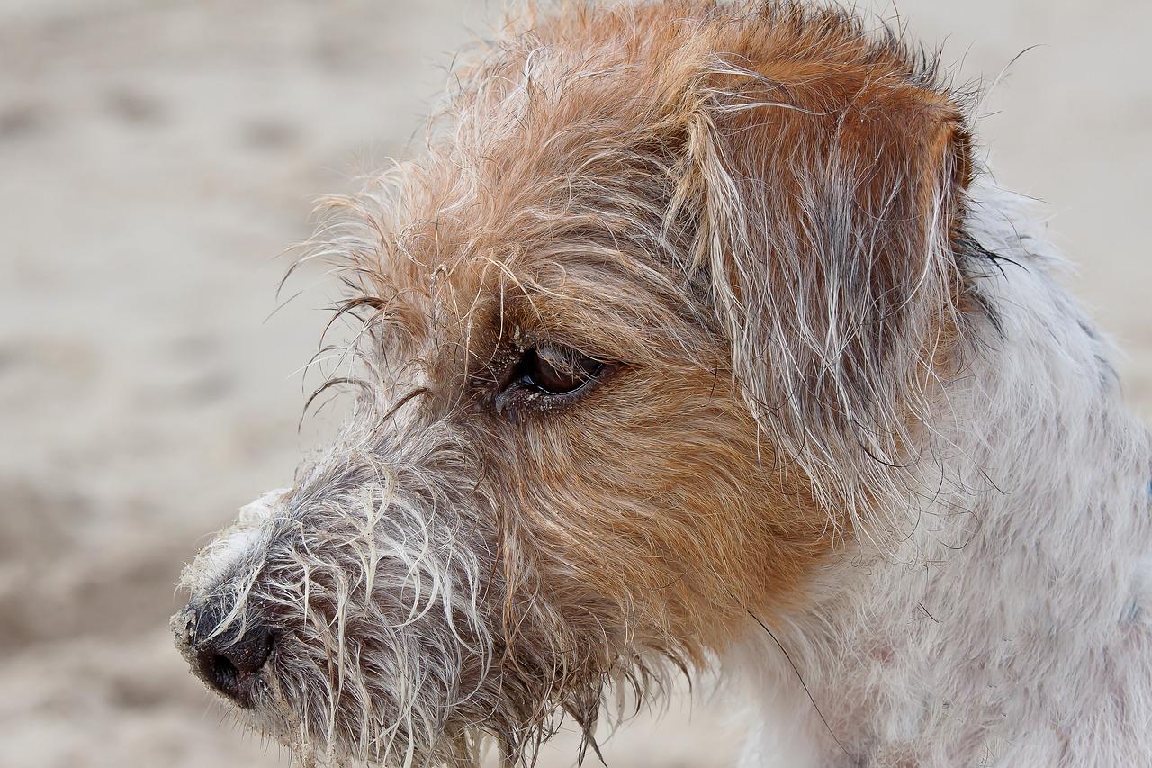 dog, terrier, parson