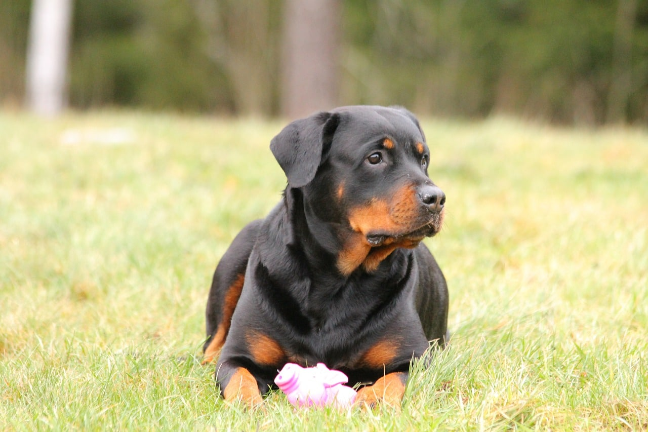 rottweiler, dog, dog lying
