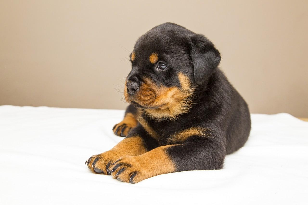 rottweiler, puppy, sweet