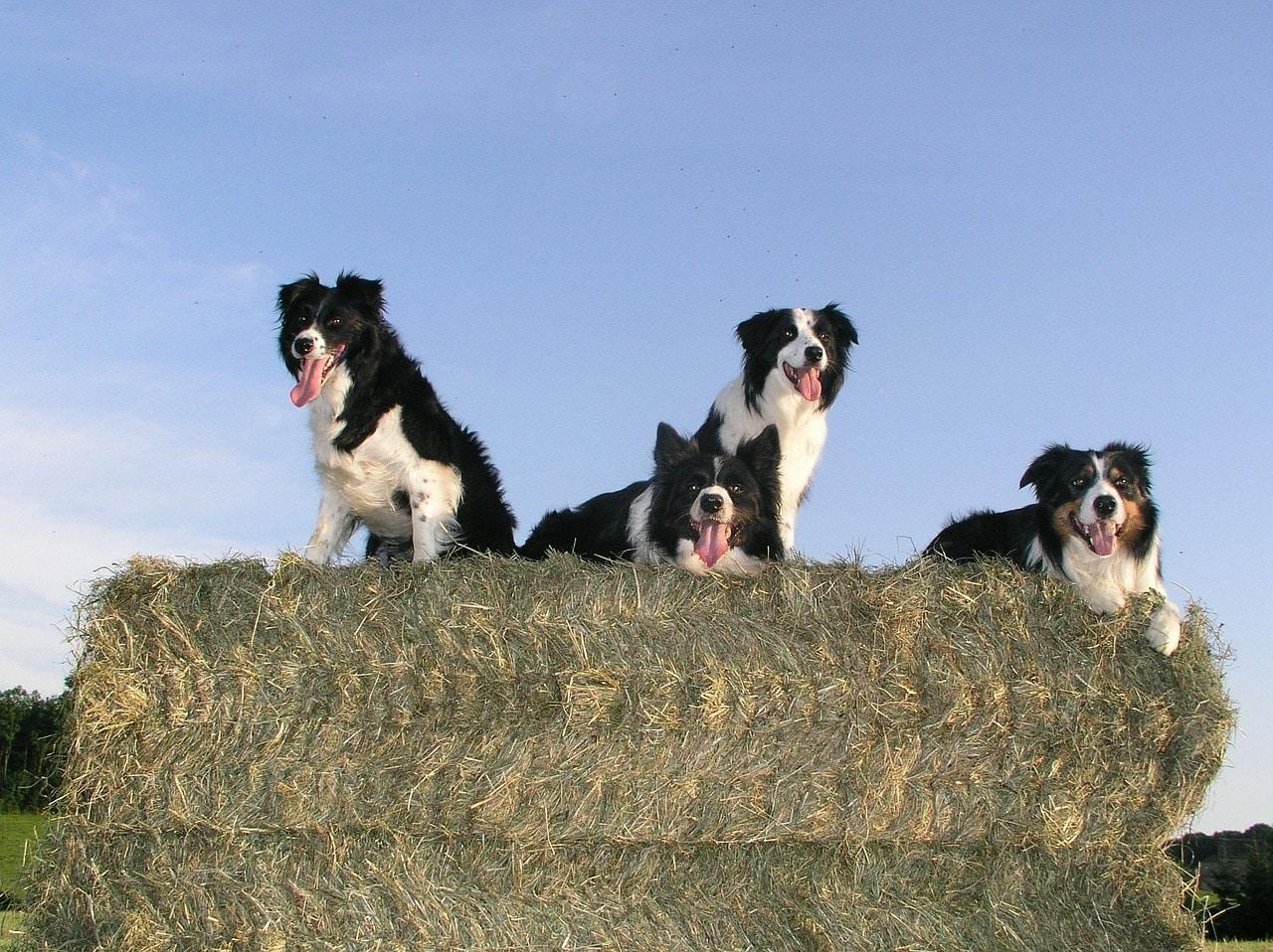border collie, dog, animals