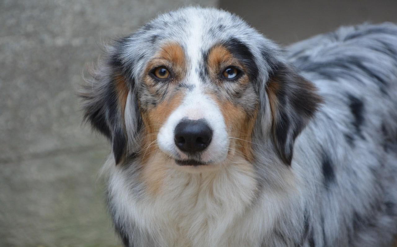 dog, bitch, australian shepherd