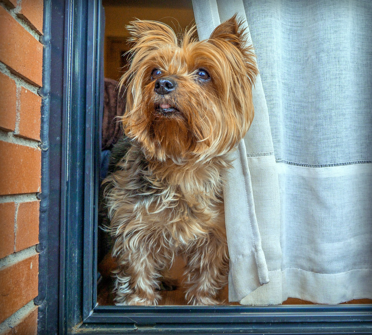 dog, yorkshire, terrier